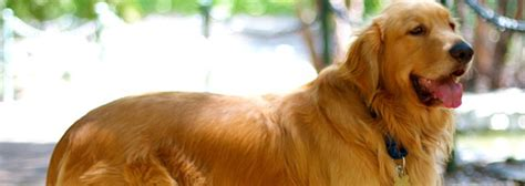 adoption golden retriever golden retriever dogs for adoption assistedlivingcares