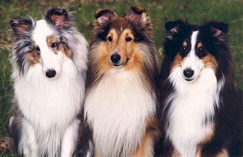 Do Sheltie Dogs Shed by Faq S Shetland Sheepdog Club Of Rescue Service