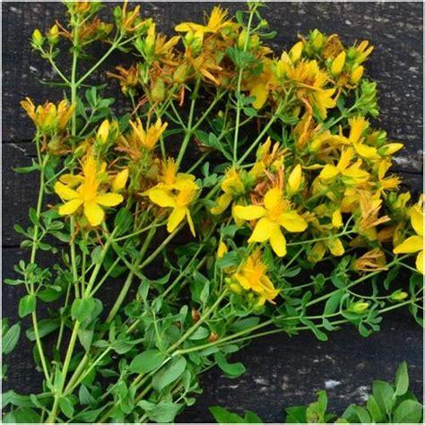 st johns wort herb seeds hypericum perforatum seed needs