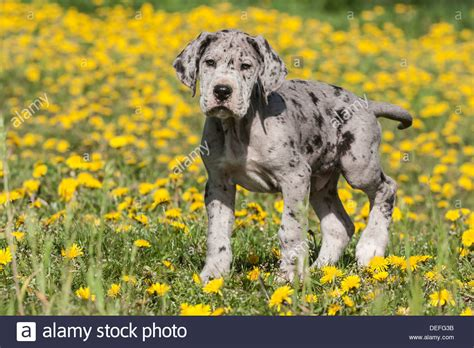 spotted great dane puppy great dane puppy spotted stock photo royalty free image 60578207 alamy