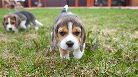 beagle puppy for sale pocket beagle puppies for sale dogable