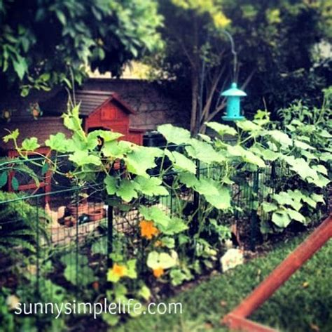 backyard poultry magazine vertical gardening on your chicken coop fencing backyard