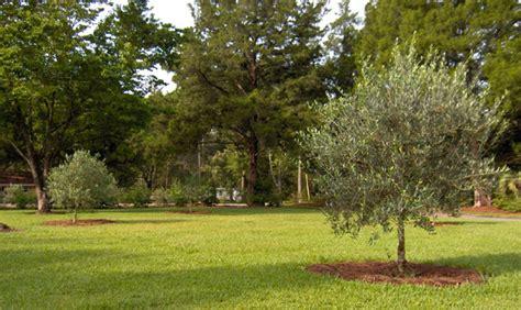 olive tree growers olive tree growers olive tree