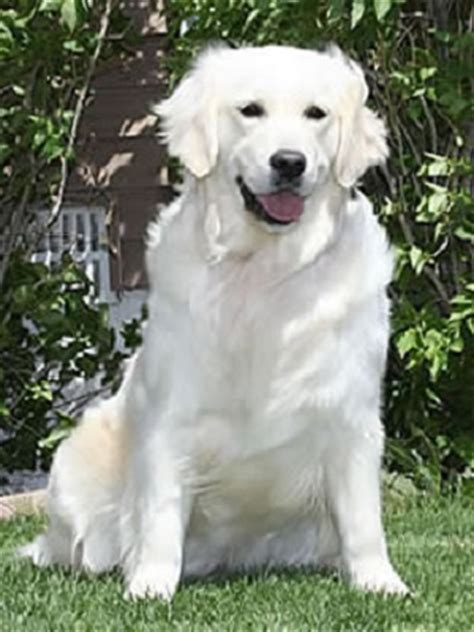 white golden retriever home b goldens white golden retrievers