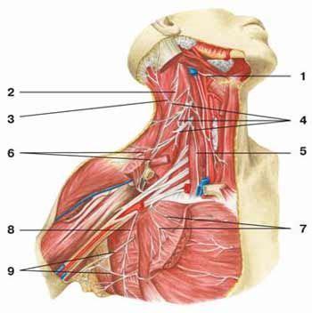 bozzo in testa tumore radial nerve entrapment and supraspinatus tear