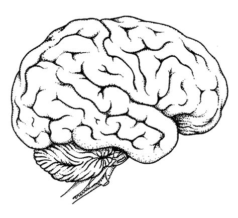 Diagram Of Human Brain Anatomy Alicia S Brain Pinterest Human Brain Anatomy Brain Brain Coloring Pages To Print