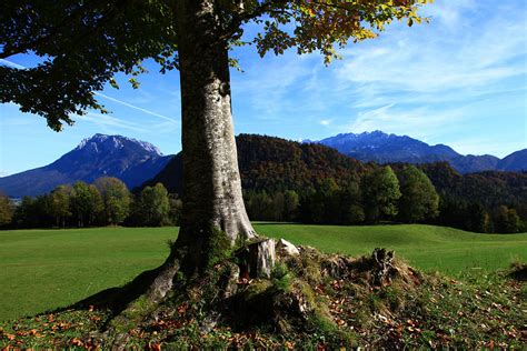 alpine tree alpine tree photograph by falko follert