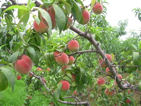 fruit tree for sale 2016 high quality fruit tree seeds seed for sale