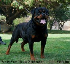 blockhead rottweiler blockhead rottweiler search dogs rottweilers search and