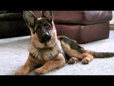 how to stop a german shepherd puppy from biting house a cat how to wee wee pad your german shepherd