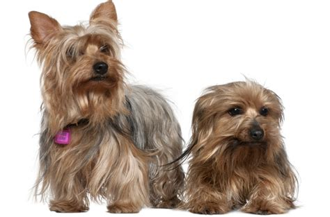 yorkie vs silky pictures rat terrier meme breeds picture