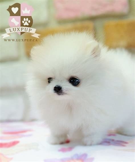 all white teacup pomeranian teacup pomeranian photograph white teacup pomeranian