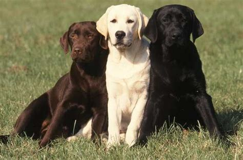 lab colors genomia labrador retriever