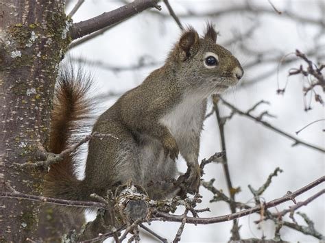 hair loss in squirrels question i saw a squirrel with no fur on its neck both