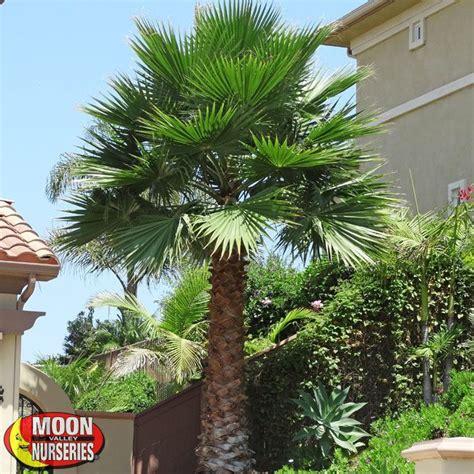 planting fan palm trees fan palm grow fan palm
