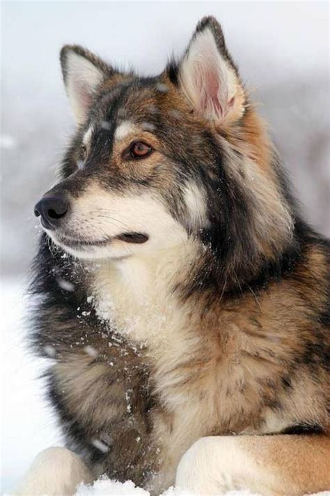 Winter Coat Wol Inner Saten 49 best images about gray wolf animal portraits