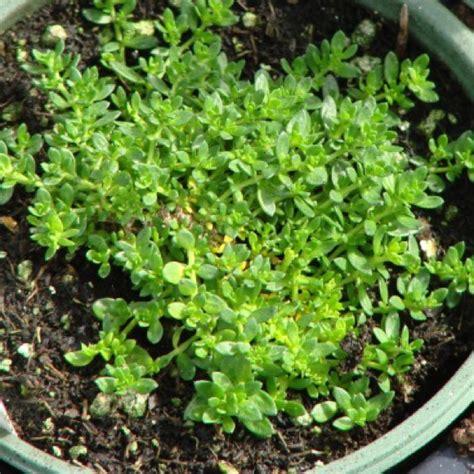 tiny plants stonecrop miniature hardy tiny friends school plant sale