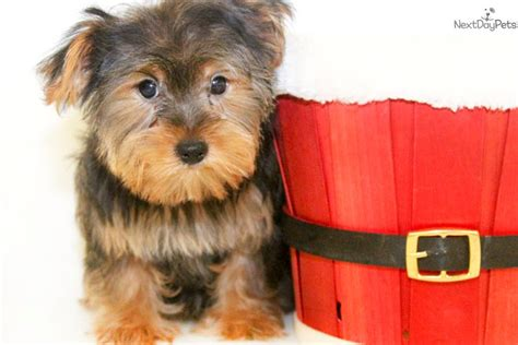 yorkie puppies for sale sarasota fl teacup puppies for sale teacup puppy gallery reviews breeds picture