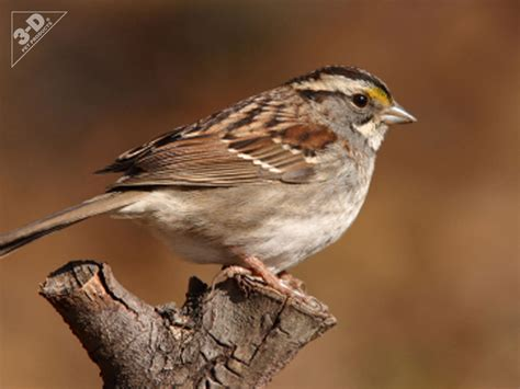 white throated sparrow 3d 174 pet products3d 174 pet products