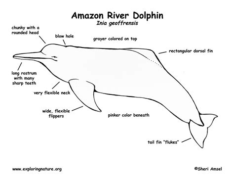 amazon river coloring page click to see printable version of two dolphin coloring