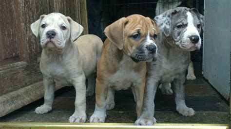alapaha blue blood bulldog puppies for sale alapaha blue blood bulldog puppies co durham spennymoor county durham pets4homes