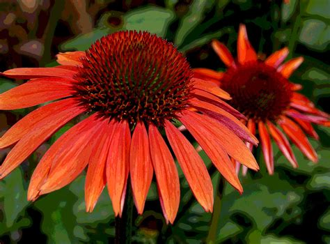 orange cone flowers photograph by suzanne gaff