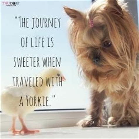 southern yorkies 25 best ideas about terriers on terrier puppies