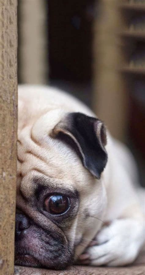 free pug puppies tap and get the free app animals pets sad pug