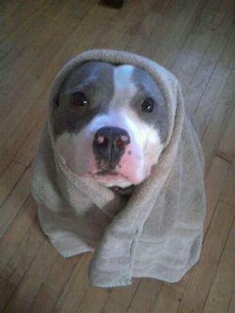 adorable pitbull puppies dogs pitbulls appreciation post adorable dogs puppies cutest dogs