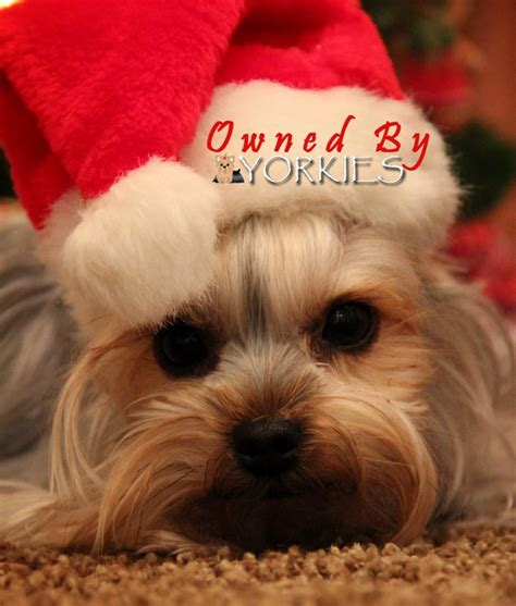 images of christmas yorkies 170 best images about yorkies on pinterest merry