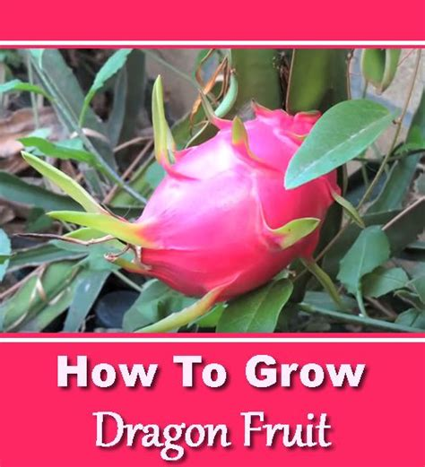 tips to grow hard to propagate plants 25 best ideas about growing dragon fruit on pinterest