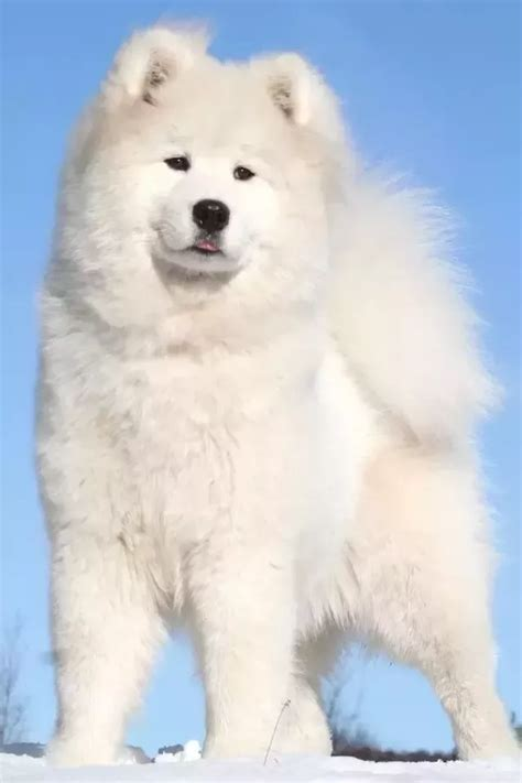 that looks like a polar is there a breed that looks like a polar quora