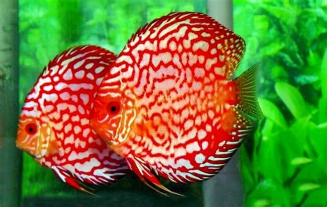 Ikan Hias Aquascape Discus Cobalt 4 harga jual ikan discus 2014 aneka info unik
