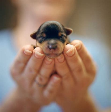 baby puppys 17 best ideas about baby rottweiler on rottweiler puppies rottweilers and