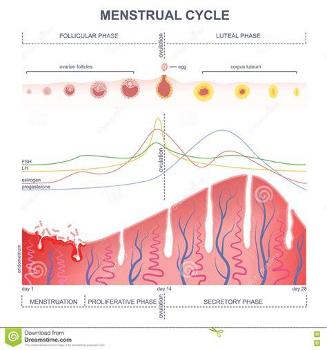 Calendario Hormonal Esquema Ciclo Menstrual Ilustraci 243 N Vector