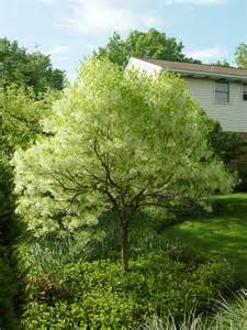triyae shade trees for backyard australia