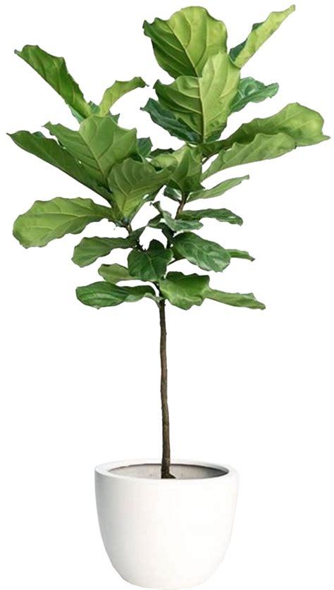 Fiddle Fig Tree Melbourne. Fiddle Leaf Fig Tree Care
