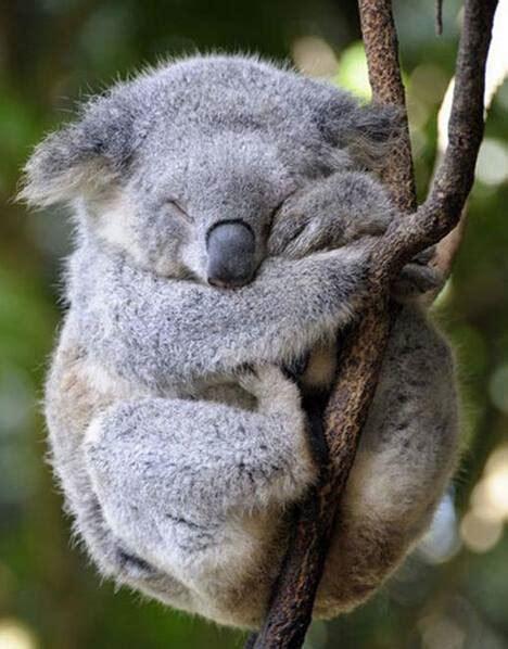 sleeping koala   tree luvbat