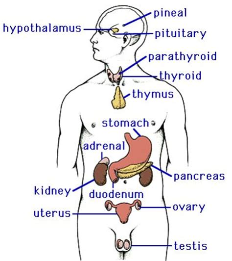 diagram of the endocrine system endocrine system diagram 100 more photos
