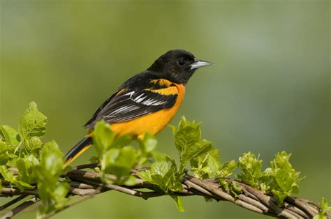 attract orioles with this sweet oriole nectar recipe