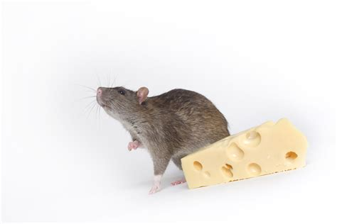 rat pictures freaking news