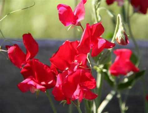 pisello odoroso fiore pisello odoroso lathyrus odoratus piante annuali