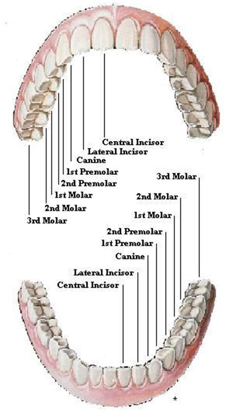 diagram of the tooth numbering system tooth numbers diagram diagrams of how primary and