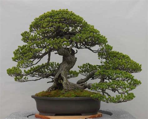 Bonsai Serisa 10759 Limited bonsai