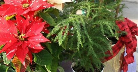 the flower bin houseplants you can use as christmas trees