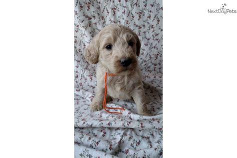 goldendoodle puppy nashville tn boy orange white goldendoodle for sale in nashville