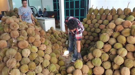 Bibit Durian Musang King Import new wa 0812 8560 4125 jual bibit durian pendek