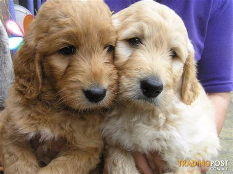 golden retriever breeders qld golden retriever puppies at puppy shack brisbane for sale in brisbane qld golden