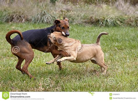 boxer shepherd puppies boxer shepherd and puggle mixed breed dogs stock photography image 27020972