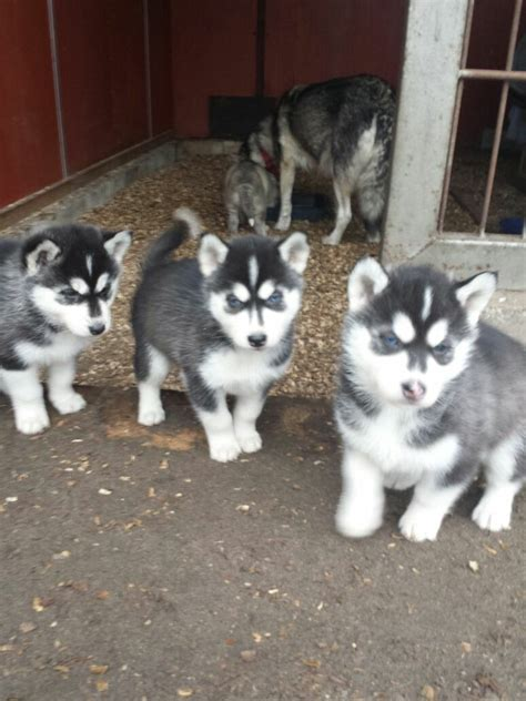 Husky hund in Schweiz, Husky welpen kaufen & verkaufen ...